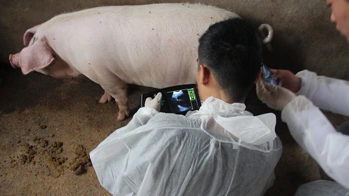 便携式猪用B超,便携猪用B超,便携猪用B超机,猪用B超机特点,猪用B超机用途,猪用B超机如何操作