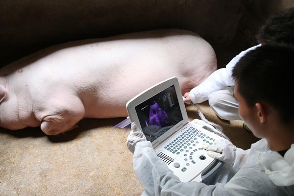 淘宝联合正大集团为开春怀孕母猪做B超查孕检